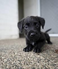 little dark dog